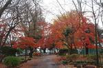いつもの公園の紅葉も綺麗に色付いてます。.JPG