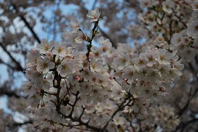 お散歩しながら桜鑑賞。.JPG