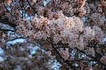 とりあえずまだ桜は咲いてます。.JPG