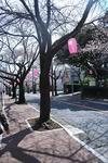 伊豆高原桜まつり。-1.JPG