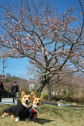桜の下で….JPG