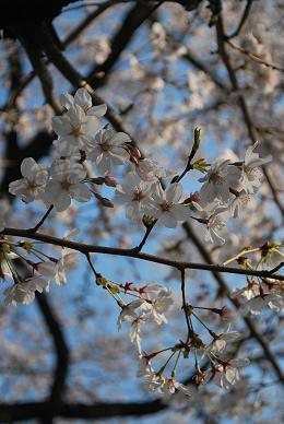 桜も満開のこの頃…-1.JPG