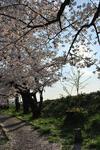 桜も満開のこの頃….JPG