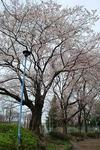 桜を眺めつつ目的地へ。.JPG