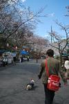 桜並木を歩く為。.JPG