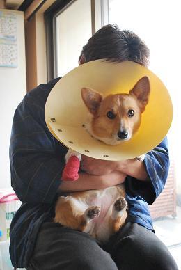 小豆さん、怪我してしまいました….JPG