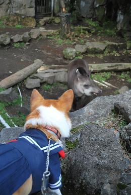 小豆さんはバクに興味津々。.JPG