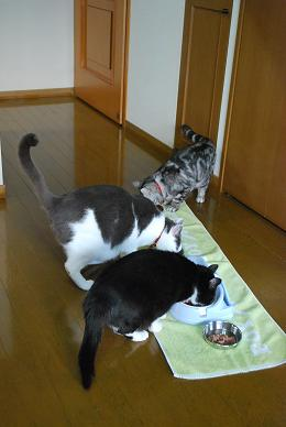 猫達もゴハン。.JPG