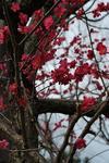 梅を発見しながら….JPG