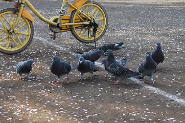 鳩も集まる。.JPG
