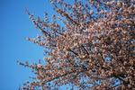 風が強くて、花びらが散ってます。.JPG