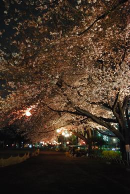 夜の桜も綺麗です♪.JPG