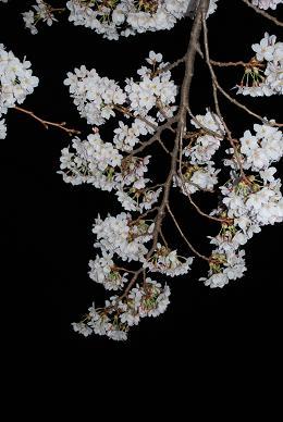 夜桜も良いモンです♪-1.JPG