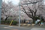 いつもの公園も桜満開。.JPG