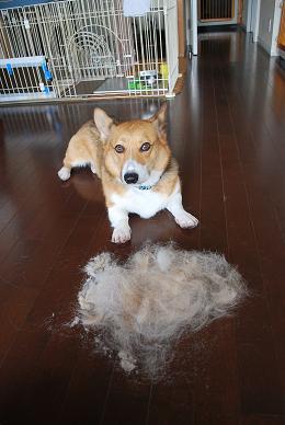 それにしても、まめ太郎さん抜け毛は多すぎです。.JPG