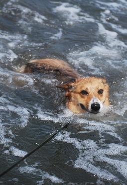 まめ太郎さん、だんだんと泳げるようになって来ました。.JPG