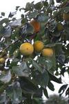 柿も色付いてきてます。.JPG
