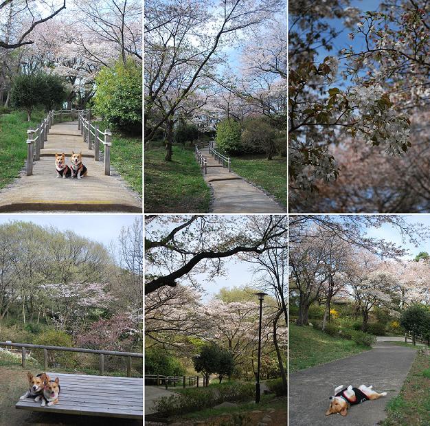 桜が満開の時期はもっと綺麗なはず….JPG