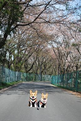 桜の時期は終ってますが….JPG