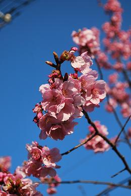 桜も咲きました。.JPG