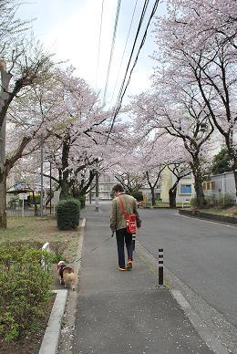 桜並木を通って….JPG