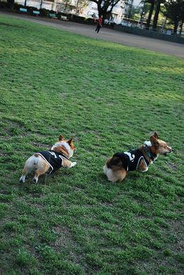 通常通り、公園を走り回る。.JPG